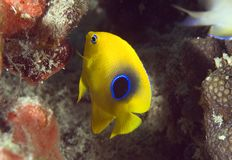 Juvenille Rock Beauty. Rock Beauty-Holacanthus tricolor, picture taken in south east Florida Royalty Free Stock Photos