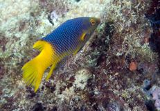 Juvenille Spanish Hogfish. Bodianus rufus Royalty Free Stock Photos