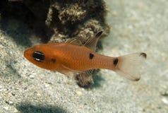 Juvenille Two Spot Cardinalfish. Two Spot Cardinalfish-Apogon psuedomacalatus Stock Photography