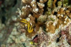 Free Juvenille Yellowtail Damselfish, Neoglyphidodon Nigroris In A Tropical Coral Reef Iof Andaman Sea Royalty Free Stock Image - 184651086