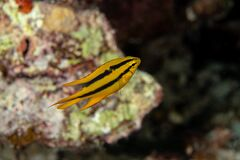 Free Juvenille Yellowtail Damselfish, Neoglyphidodon Nigroris In A Tropical Coral Reef Iof Andaman Sea Stock Photos - 184651093