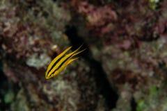 Free Juvenille Yellowtail Damselfish, Neoglyphidodon Nigroris In A Tropical Coral Reef Of Andaman Sea Royalty Free Stock Image - 184651076