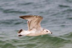 Juvenilt Кольц-представило счет delawarensis Larus чайки Стоковое фото RF