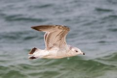 Juvenilt Ring-Billed Gull Larus delawarensis. Flying Juvenile Ring-Billed Gull with ocean background royalty free stock photo