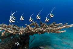 Juvenile Red Sea Banner-Fishes Underwater Royalty Free Stock Photography