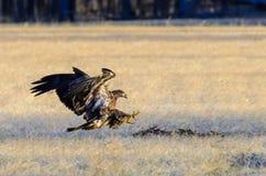 Juvenline-Weißkopfseeadler Lizenzfreies Stockfoto