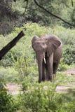 Juventud del elefante, lago Manyara, Tanzania Imagenes de archivo