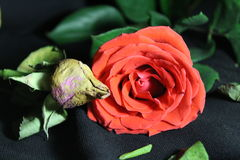 Juventud y edad avanzada, la comparación de rosas imagen de archivo