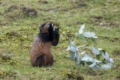 Juventude dourada posta em perigo do macaco, vulcões parque nacional, Ruanda fotos de stock
