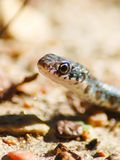 Black Masked Racer snake stock photography