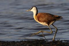 Juvinile African Jacana Royalty Free Stock Photography