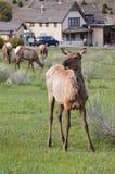 Juvinile Elk Stock Photos