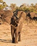 Juvinile Ladung des afrikanischen Elefanten Stockbilder