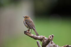 Juvinile robin. A young robin ,still in its rusty colours,sits on a perch against a blurred background Stock Photos