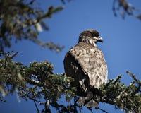 Juvinile skalliga Eagle som sätta sig på en filial Fotografering för Bildbyråer