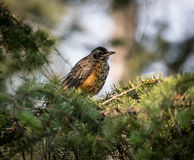 Close up of juvinile varied thrush in pine tree Royalty Free Stock Image