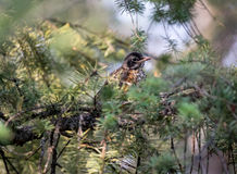 Close up of juvinile varied thrush in pine tree Stock Images