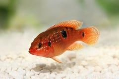 Juwel Cichlid Hemichromis-bimaculatus Aquariumfische lizenzfreies stockfoto