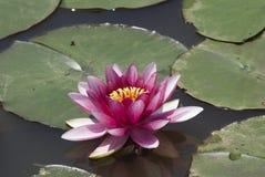 Juwel des Teichs Stockfoto