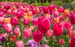 Juwel tonte Tulpen in der Orange, purpurrot und rosa auf einem sonnigen Morgen im Fr?hjahr lizenzfreie stockfotografie