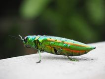 Juwelwanze Käfer oder metallisches Holz-Bohren lizenzfreies stockfoto