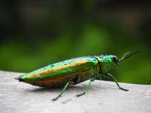Juwelwanze Käfer oder metallisches Holz-Bohren lizenzfreie stockfotos