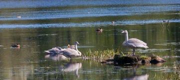 Juwenile喑哑Swans& x28; 天鹅座olor& x29;反对水 免版税库存图片