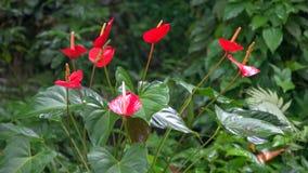 Kępa czerwony anthurium kwiatów dorośnięcie w ogródzie na Maui zdjęcia royalty free