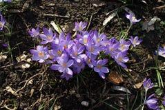 Kępa dzicy purpurowi krokusów kwiaty obrazy royalty free