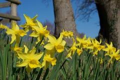Kępa jaskrawi żółci daffodils na zieleni wywodzi się w żywym świetle słonecznym; drzewa w tle zdjęcie stock
