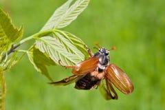 Käfer Lizenzfreies Stockbild