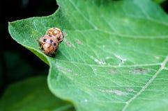 käfer Lizenzfreie Stockfotos