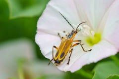Käfer auf Blume Lizenzfreie Stockbilder