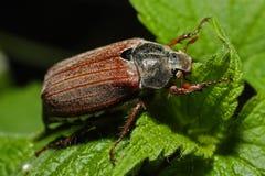 Käfer auf dem Blatt Lizenzfreie Stockbilder