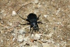 Käfer auf dem Feldweg Lizenzfreies Stockfoto