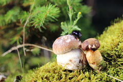 Käfer auf den Pilzen Lizenzfreie Stockbilder