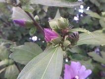 Käfer auf der Blume Lizenzfreies Stockbild