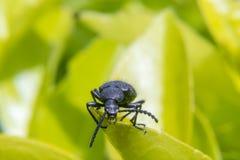 Käfer auf einem Betriebsurlaub Lizenzfreie Stockfotografie