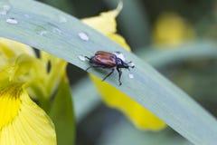 Käfer auf einem Blatt Stockfotografie