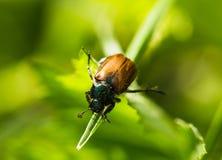 Käfer auf einem Gras Stockfotos