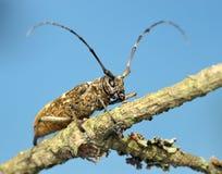 Käfer auf einem trockenen Zweig Lizenzfreie Stockfotografie