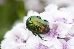 Käfer auf einer Blume Stockfotos