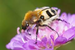 Käfer auf einer Blume Stockbild