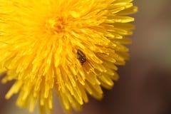 Käfer auf einer Blume Stockbilder
