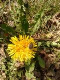 Käfer auf einer Blume Lizenzfreie Stockfotografie
