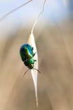 Käfer auf Getreidekorn Stockbilder