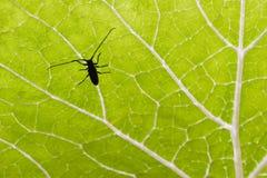 Käfer auf grünem Blatt Stockfoto