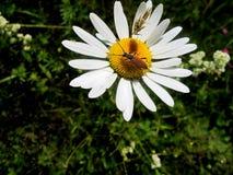 Käfer auf Kamille Lizenzfreies Stockfoto