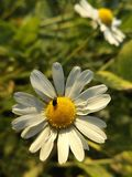 Käfer auf Kamille Stockfotografie