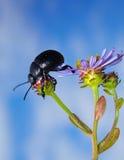 Käfer auf purpurroter Blume Stockbild